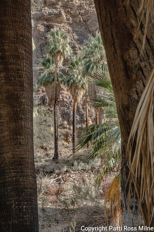 Fifteen miles long, Palm Canyon is one of the areas of great beauty in Western North America. Its indigenous flora and fauna, which the Cahuilla people so expertly used and its abundant Washingtonia filifera (California Fan Palm) are breathtaking contrasts to the stark rocky gorges and barren desert lands beyond.