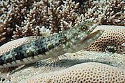 Reef or variegated lizardfish (Synodus variegatus) on tropical coral reef - Agincourt Reef, Great Barrier Reef, Queensland, Australia.