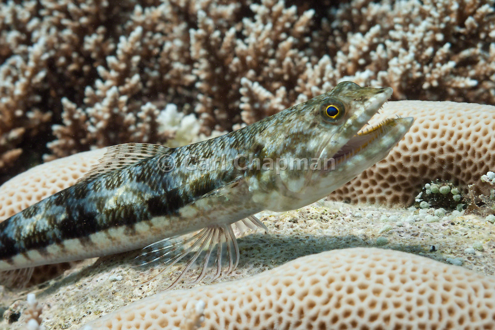 Reef or variegated lizardfish (Synodus variegatus) on tropical coral reef - Agincourt Reef, Great Barrier Reef, Queensland, Australia.