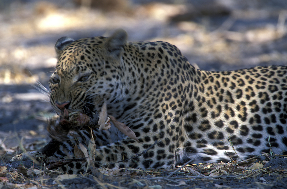 Botswana, Moremi Game Reserve, Adult Male Leopard (Panthera pardus) feeding on remains of  Warthog kill near Khwai River