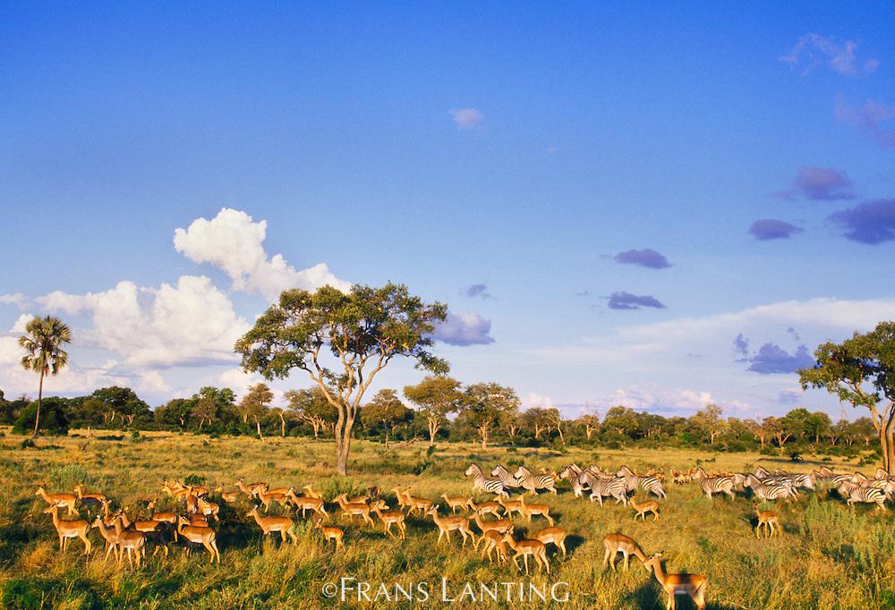 Impala herd, Aepyceros melampus, Okavango Delta, Botswana