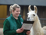 ZSL London Zoo Annual Count<br /> 4th January 2016 <br /> London Zoo, Regent's Park, London, Great Britain <br /> <br /> <br /> Jessica Jones with a Llama called Perri <br /> <br /> <br /> Photograph by Elliott Franks <br /> Image licensed to Elliott Franks Photography Services