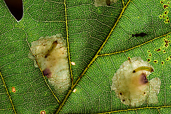 mine the leaves of their host plant There are two mines in this leaf | Platzminen der Eichenminiermotte (Tischeria ekebladella)