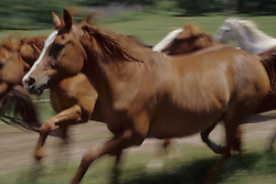 North America, United States, Montana, Boulder River Valley, horses running in from the pasture