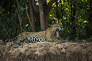 Jaguar (Panthera onca) male<br /> Northern Pantanal<br /> Mato Grosso<br /> Brazil<br /> (Adriano)Jaguar (Panthera onca) male<br /> Northern Pantanal<br /> Mato Grosso<br /> Brazil<br /> (Adriano)
