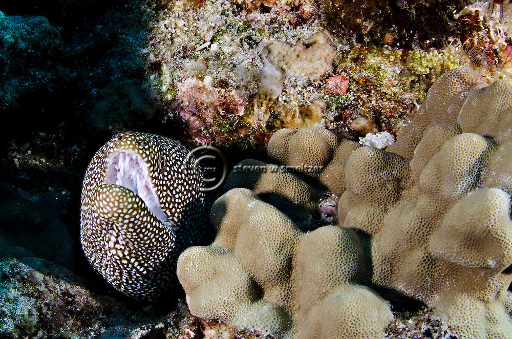Whitemouth Moray, Gymnothorax meleagris, (Shaw & Nodder, 1795), Kona Hawaii
