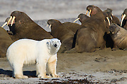 A polar bear checks out a walrus colony.  The walrus all show their tusks in warning.   After the bear checked out the colony on all sides he wandered down the beach.