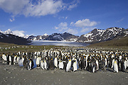 King Penguin<br /> Aptenodytes patagonicus<br /> Saint Andrews Bay, South Georgia