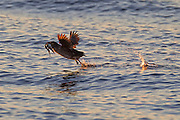 A rhinoceros auklet (Cerorhinca monocerata) with its bill full of herring takes off from Puget Sound near Port Townsend, Washington. The rhinoceros auklet feeds almost exclusively on small fish.