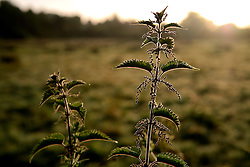 UK ENGLAND WILTSHIRE 26JUN08 - Morning light on nettles and foliage near the river Kennet in Stichcoombe in rural Wiltshire, western England...jre/Photo by Jiri Rezac / WWF UK..© Jiri Rezac 2008..Contact: +44 (0) 7050 110 417.Mobile:  +44 (0) 7801 337 683.Office:  +44 (0) 20 8968 9635..Email:   jiri@jirirezac.com.Web:     www.jirirezac.com..© All images Jiri Rezac 2008 - All rights reserved.