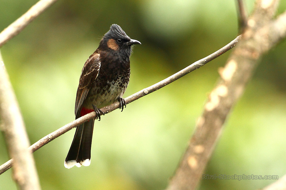 Red-vented Bulbul, Pycnonotus cafer, Bhutan, by Markus Lilje