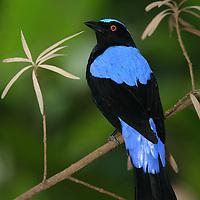 Asian fairy-bluebird, Irena puella
