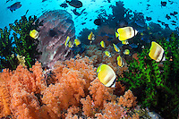 Butterflyfishes and Triggerfish, Soft Corals<br /> <br /> Shot in Indonesia