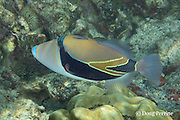 wedgetail triggerfish, wedge-tail triggerfish, Picasso triggerfish, Picassofish, humuhumu-nukunuku-apuaa, or humuhumunukunukuapuaa, Rhinecanthus rectangulus, the Hawaii State Fish, Kahaluu Beach Park, Kona, Hawaii ( the Big Island ), Central Pacific Ocean