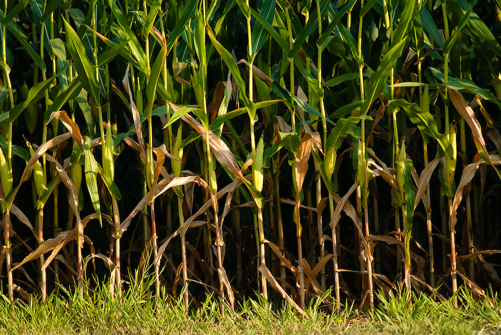 Driving in the countryside of West Tennessee I noticed the beautiful corn was brown and dried out from the grown to about 18 inches or so up the stalk.  The drought of 2012 has hit