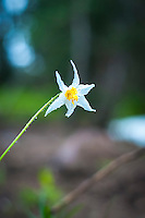 A lone avalanche lily photographed in the rain late in the summer season on the southern slope of Washington's Mount Rainier. It is easily distinguished from its close relative the fawn lily by the fact that the leaves are uniform green, and not mottled like so many other members of the Erythronium genus.