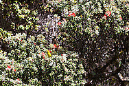 The endemic amakihi bird in an Ohia Tree in the Kaupo Gap in Haleakala National Park on the island of Maui, Hawaii, USA