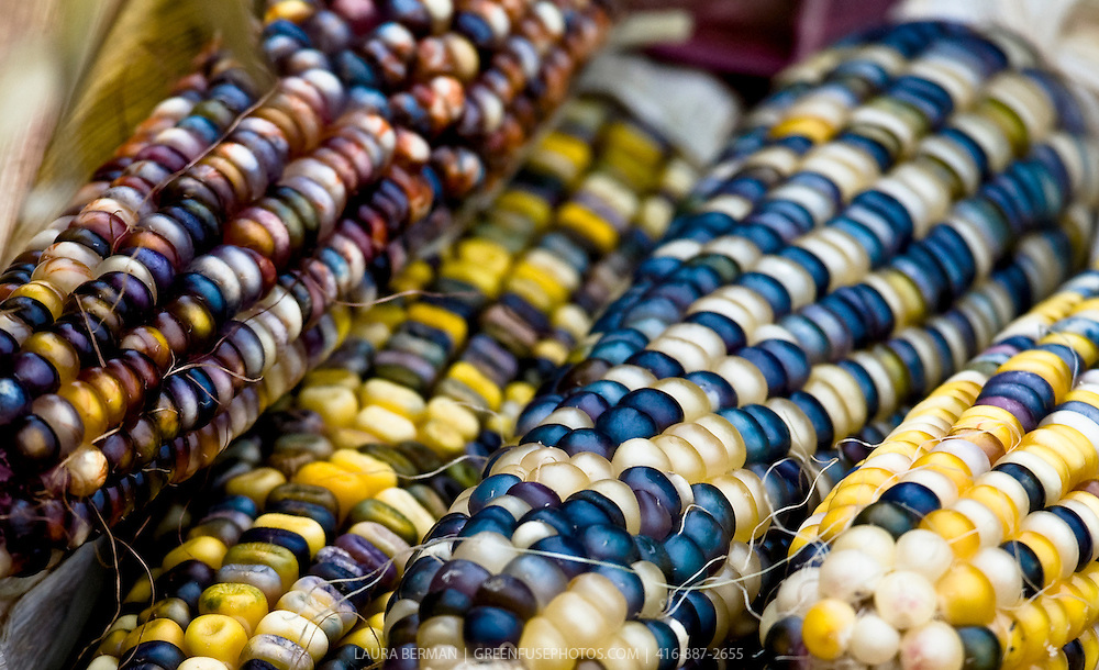 Ears of multicoloured corn.