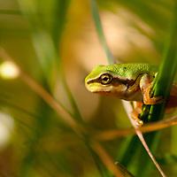 European tree frog (Hyla arborea), lövgroda<br /> Location: Eneborg, Skåne, Sweden