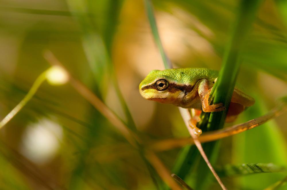 European tree frog (Hyla arborea), l&ouml;vgroda<br /> Location: Eneborg, Sk&aring;ne, Sweden
