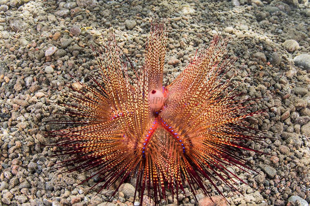 Radiant Sea Urchin (Astropyga radiata)<br /> Lesser Sunda Islands<br /> Indonesia