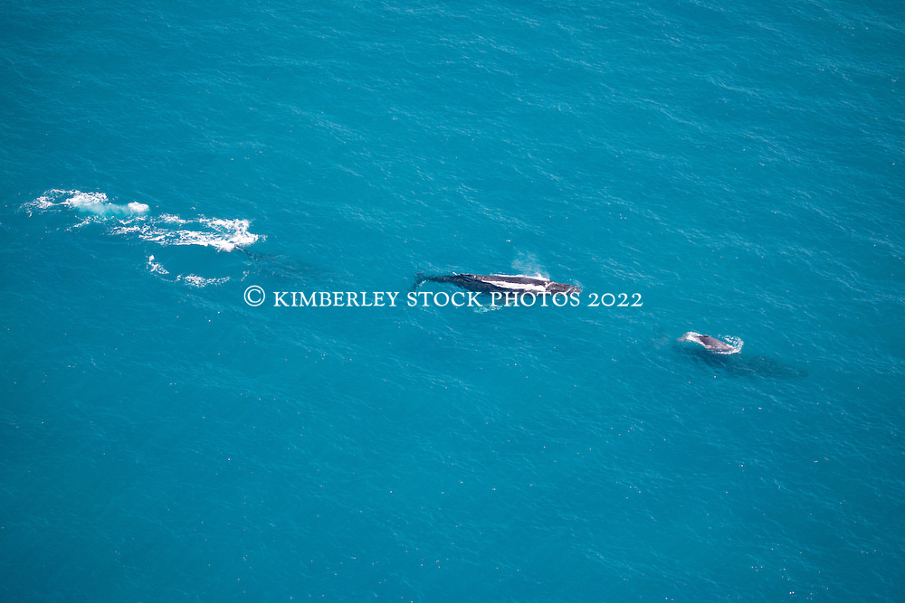 A pod of whales swim past James Price Point on Western Australia's Kimberley coast.  A cow with a young calf is followed by two others.