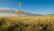 A lone yucca plant stands as an icon on the Southern High Plains in West Texas. Near Lubbock, Texas.