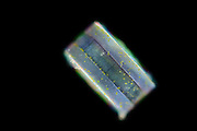 [captive] Centric diatom, girdle view, Atlantic Ocean, close to Cape Verde | Atlantischer Ozean, nahe Kap Verde