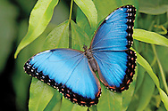 The upper surfaces of a morpho butterfly's wings appear to be a beautiful iridescent blue, but, surprisingly, the natural pigment of the wings is dull brown. The wings are covered in tiny scales with multiple layers that reflect only wavelengths in the blue end of the visible spectrum, thus giving the morpho its shimmering blue appearance. This insect is without a doubt one of the most eye-catching animals in the tropical forests of Costa Rica.<br /> <br /> For sizes and pricing click on ADD TO CART (above).