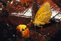 A butterfly sips juice from a fig.