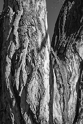 Detail of a Cottonwood Tree found in Santa Fe, NM