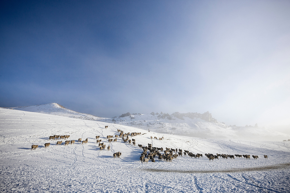 Sheep at Castle Hill Station look for feed after a winter snowfall.