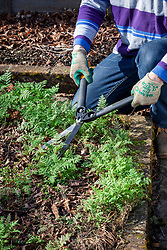 Trimming back green manure with shears before digging in. Phacelia tanacetifolia - Scorpion weed