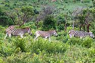 Zebra-Zèbre (Equus), South Africa.