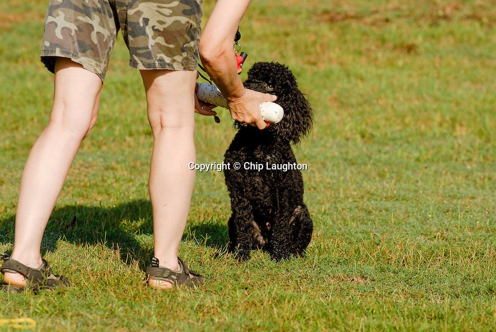 poodle stock photo image