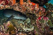 Tawny Nurse Shark (Nebrius ferrugineus)<br /> Raja Ampat<br /> West Papua<br /> Indonesia