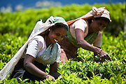 Picking tea in the clean clear air of the highlands of Sri Lanka.<br /> (Photo by Matt Considine - Images of Asia Collection)