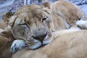Dierenpark Amersfoort in de winter.<br /> <br /> Op de foto:<br />  Leeuw<br /> <br /> Leeuwen leven in groepen. In DierenPark Amersfoort woont er ook een groepje, bestaande uit één man en vier vrouwtjes. Leeuwen komen voor in Afrika en in nog in een klein reservaat in India.