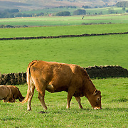 A brown cow eating the lush green grass with rolling hills in the background.