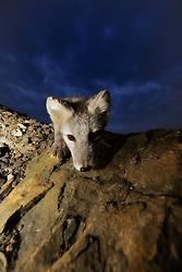 Arctic Fox (Alopex lagopus) in Svalbard