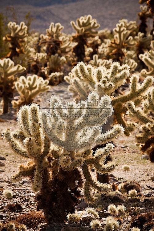 Teddy Bear Cholla (Opuntia bigelovii) in the Cholla Cactus Garden on the northwestern bajadas of Joshua Tree's Pinto Basin Joshua Tree, CA.
