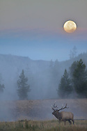 A bull elk under a full moon in Yellowstone National Park