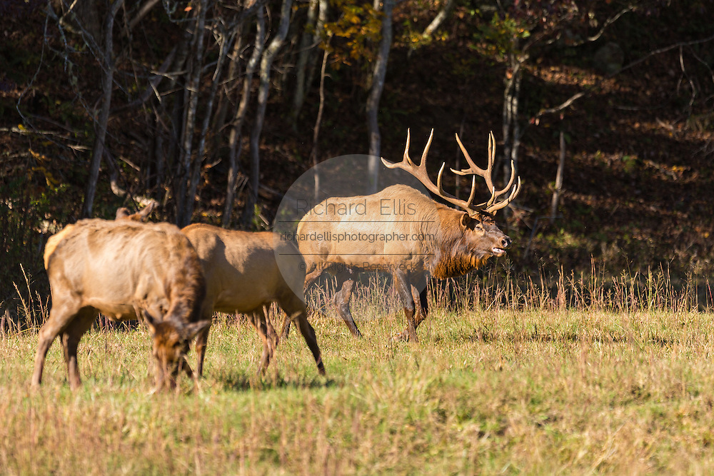 A bull elk bugles during the fall rut in the Cataloochee Valley of the Great Smoky Mountains National Park in Cataloochee, North Carolina.