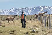 Guanaco jump over a fence while a hiker takes a photo, in Torres del Paine National Park, Chile.