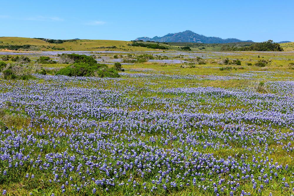 Blue Bonnets, San Simeon, California