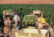 Chardonnay harvest in Los Carneros, Domaine Carneros