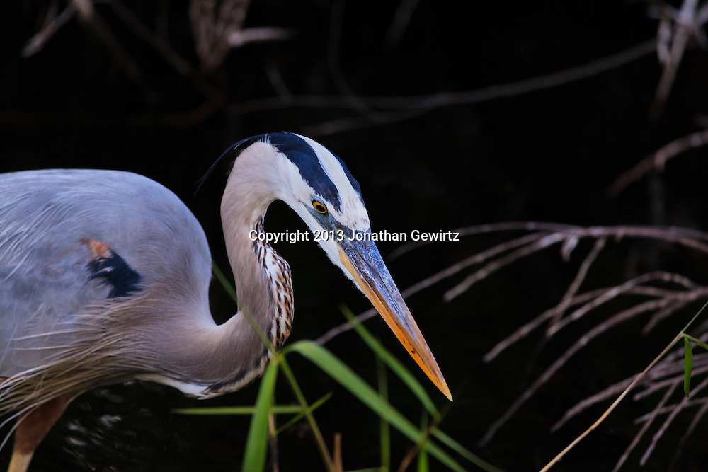 A Great Blue Heron (Ardea herodias) stalking fish in a canal in the Shark Valley section of Everglades National Park, Florida. WATERMARKS WILL NOT APPEAR ON PRINTS OR LICENSED IMAGES.