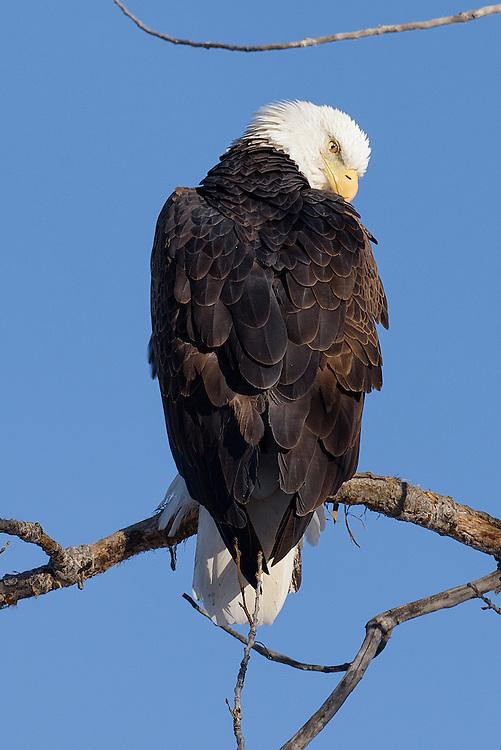 Bald eagle at McIntosh Lake in Longmont, Colorado