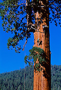 Genevieve Summers climbs a giant redwood near Springville, California.