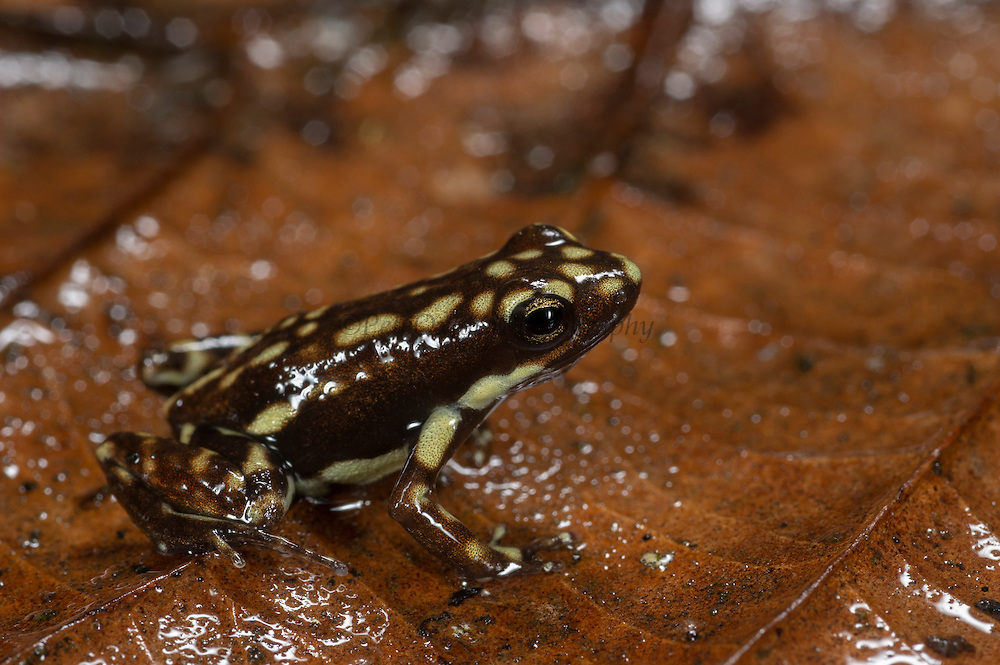 Poison Arrow Frog (Epipedobates darwinwallacei)<br /> CAPTIVE<br /> Central ECUADOR. South America<br /> RANGE: Ecuador, <br /> Andean slopes of central Ecuador<br /> 1400m<br /> Epibatidine skin secretions used in medical research<br /> Vulnerable